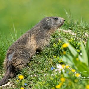 Marmotte dans son jardin fleuri...