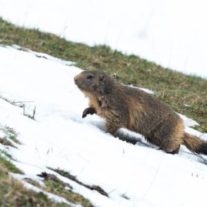 Marmotte à pas de loup