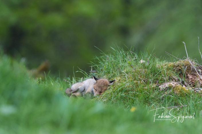 Le repos du renardeau