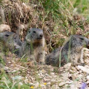 Trois jeunes marmottes du Jura