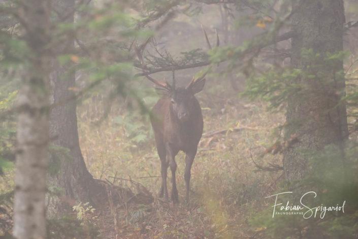 Rencontre royale dans la brume forestière...