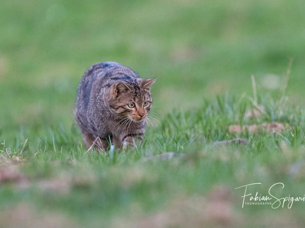 Chat forestier prêt à bondir