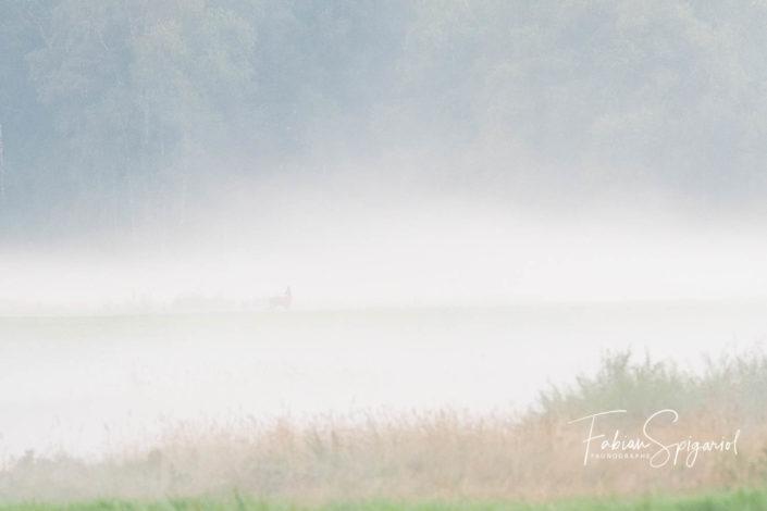 Brocard dans la brume