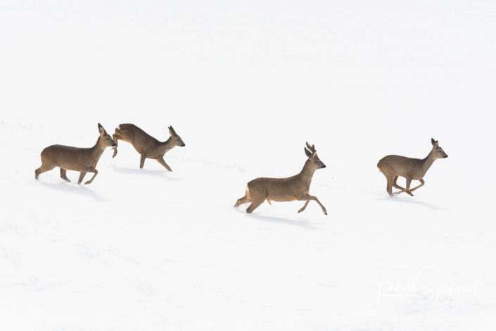 chevreuils_hiver_neige_val-de-traver_course_fabian_spigariol.jpg