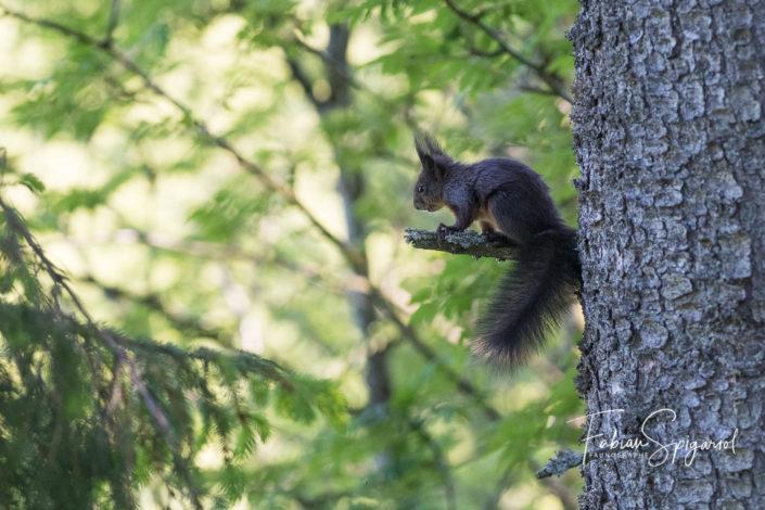 Ecureuil roux perché