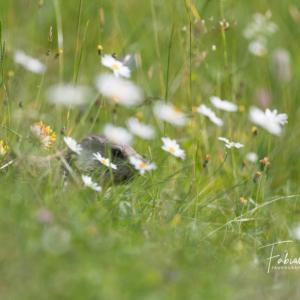 Jeune marmotte du Jura Neuchâtelois