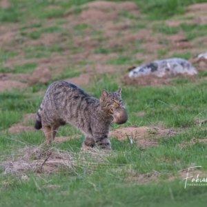 Le chat forestier et sa proie