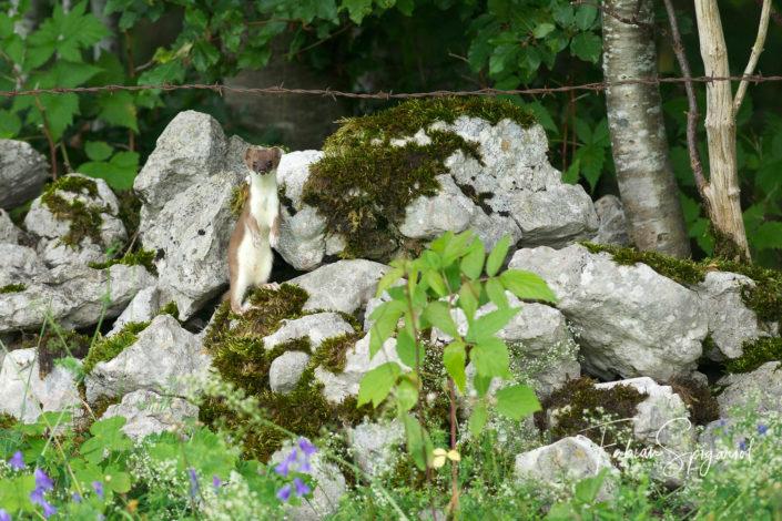 Hermine sur un mur de pierres fleuri