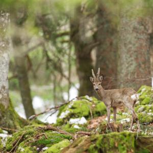 Chevreuil forestier