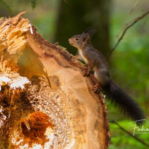 Ecureuil de souche