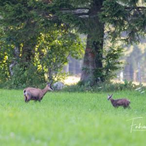 Cabri et chèvre de chamois