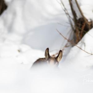 Cache-cache avec un jeune chamois