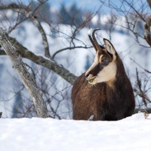Chamois hivernal