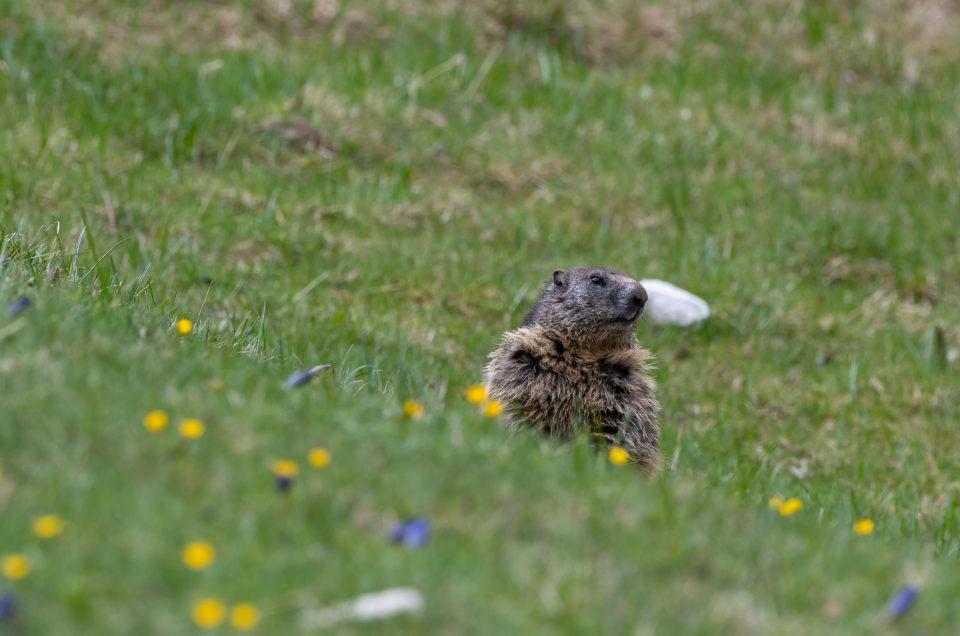 Marmotte printanière